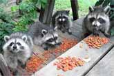 Five Baby Raccoons Enjoy An Afternoon Snack